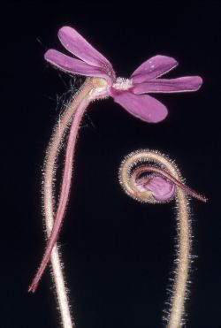 Flowers of Pinguicula longifolia